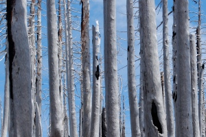 Silvery Burned Trees